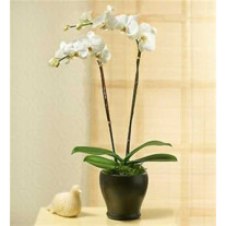 PHALEONOPSIS ORCHID PLANT IN POT WITH TWO STEMS